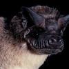 Angolan free-tailed bat (Mops condylurus),