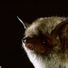 Yuma myotis (Myotis yumanensis)