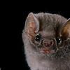 Hairy-legged vampire bat (Diphylla ecaudata)