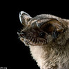 Brazilian free-tailed bat (Tadarida brasiliensis) in Texas. Portrait