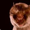 A Rufous trident bat (Triaenops menamena)