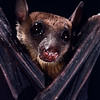 cave nectar bat, Eonycteris spelaea