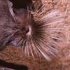 Chapin's free-tailed bat (Chaerephon chapini)