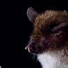 brown tube-nosed bat, Murina suilla