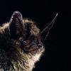 A Keen's myotis (Myotis keenii) in Canada. Portraits