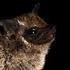 Frosted sac-winged bat (Saccopteryx canescens)
