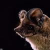 Brazilian free-tailed bat (Tadarida brasiliensis) in Texas. Portraits