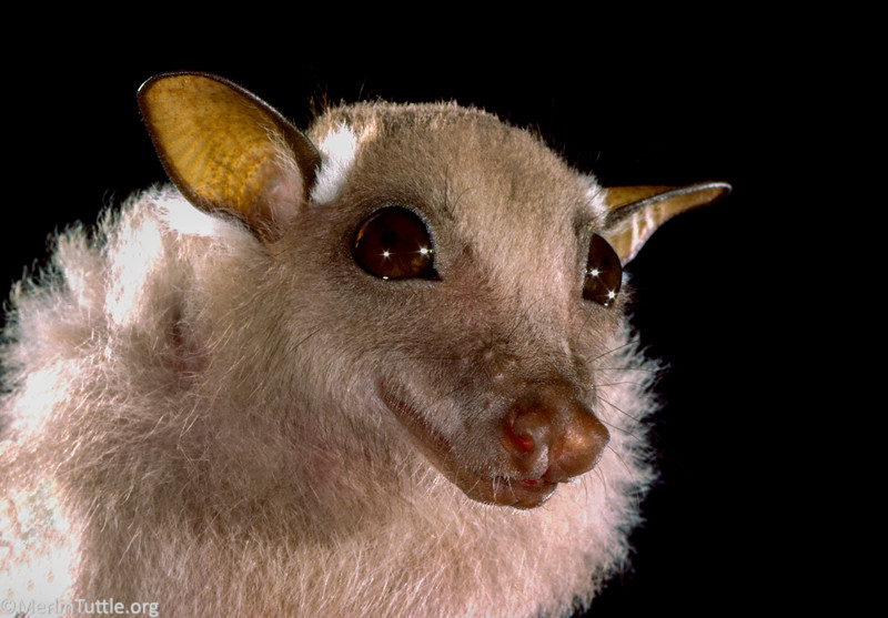 minor epauletted fruit bat, Epomophorus labiatus minor