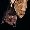 Pearson's horseshoe bat, Rhinolophus pearsonii