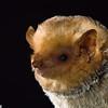 A Western red bat (Lasiurus blossevillii) in Arizona. Portraits