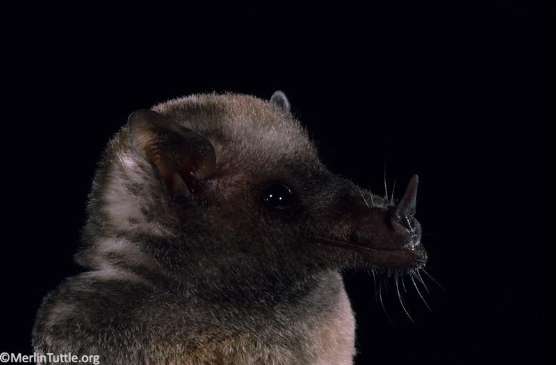 A Mexican long-tongued bat (Choeronycteris mexicana) in Arizona. Portraits