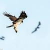 Swainson's hawk (Buteo swainsoni) chasing Brazilian free-tailed bats at Bracken Cave.