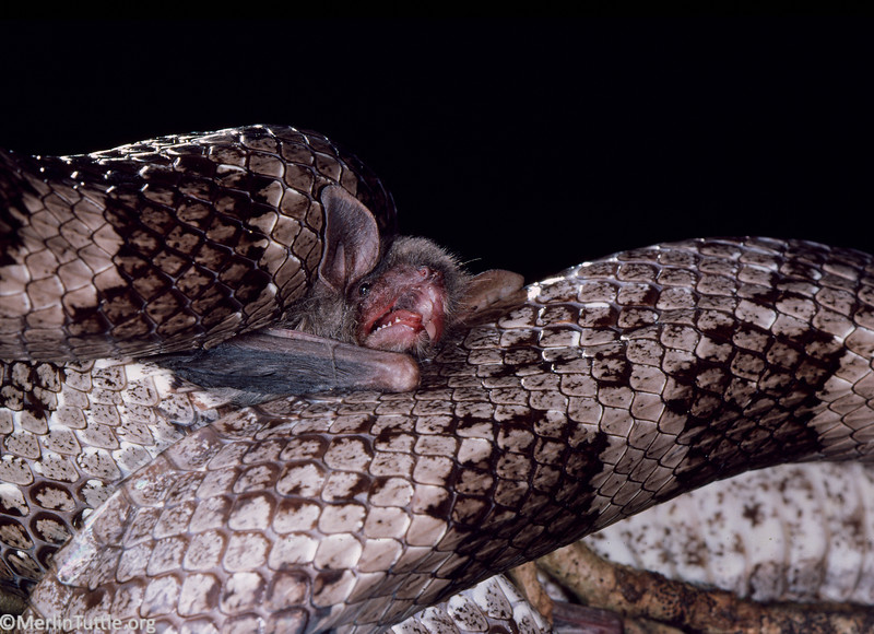 A Southeastern myotis (Myotis austroriparius) captered at the entrance to a Florida cave and about to be eaten by a gray rat snake (Pantherophis spiloides). Predation