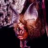 Dobson's horseshoe bat (Rhinolophus yunanensis) in Thailand.