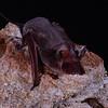 Chapin's free-tailed bat (Chaerephon chapini) from Zimbabwe. Roosting