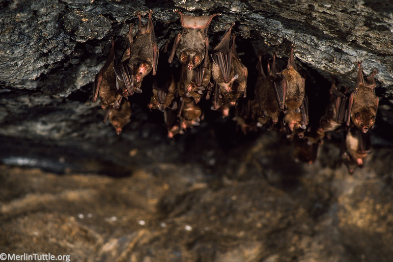 A mixed cluster of Commissarisi's long-tongued bats (Glossophaga commissarisi) and Seba's short-tailed bats (Carollia perspicillata) in a Costa Rican cave. Roosting