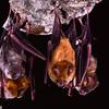 Noack's roundleaf bats (Hipposideros ruber)