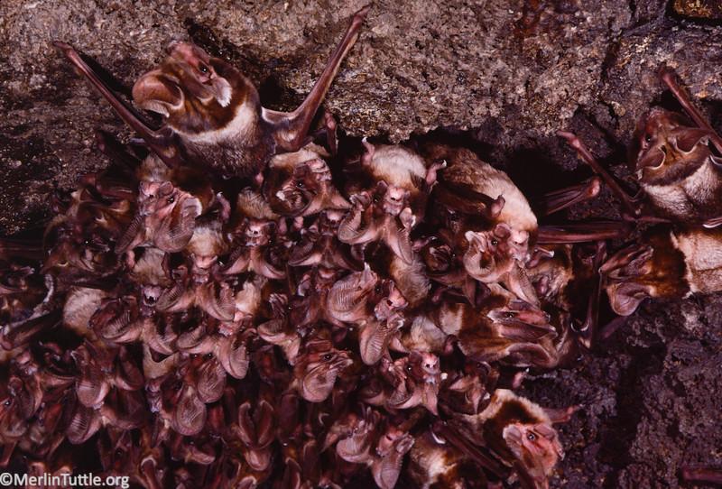 Large-eared free-tailed bat (Otomops martiensseni)