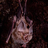 A Hildebrandt's horseshoe bat (Rhinolophus hildebrandtii) from Zimbabwe. Roosting