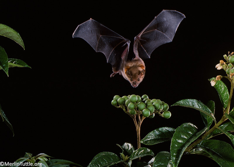 """A little yellow-shouldered bat (Sturnira lilium) is about to take a Solanum rugosum fruit. This is an important """"pioneer"""" plant, one of the first species to begin the succession to reforestation in clearings. Bats play a key role by carrying the vast majority of such plant seeds into clearings. Seed Dispersal"""