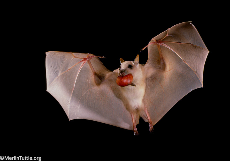 Minor epauletted fruit bat (Epomophorous labiatus minor) carrying a fig in Kenya. Small fruit bats are the most efficient dispersers of wild figs worldwide. Seed Dispersal