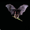 """A Seba's short-tailed bat (Carollia perspicillata) is carrying a piper fruit  (Piper tuberculatum). It will be eaten like we eat corn on the cob. Just one bat can carry up to 60,000 piper seeds to new locations in a single night. If even one-tenth of one percent of those seeds survive to become new seedlings that would be 20,000 annually. These bats are key dispersers of """"pioneer plants"""" into new clearings. Seed Dispersal"""