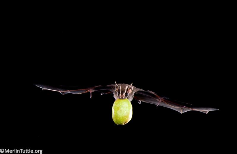 Common tent-making bat (Uroderma bilobatum) carrying a ripe fig in Costa Rica. Seed Dispersal