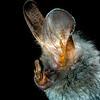 Lesser false vampire bat (Megaderma spasma) portrait in Thailand, 2019.