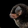 Eastern bent-winged bat (Miniopterus fuliginosus) portrait in Thailand.