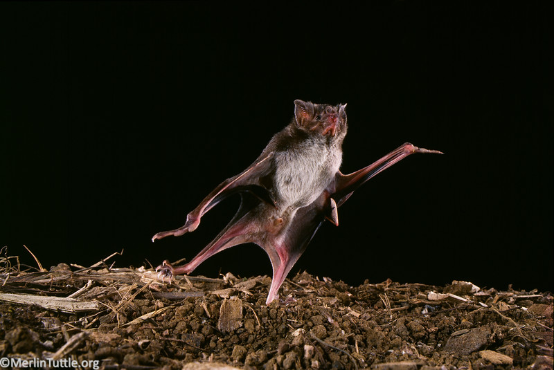 Common vampire bat (Desmodus rotundus) has extra long thumbs that help it run and jump with great agility, enabling it to sneak up on sleeping prey and make a quick escape in the case that the prey wakes up. Vampire Bats