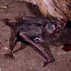 common vampire bat (Desmodus rotundus)