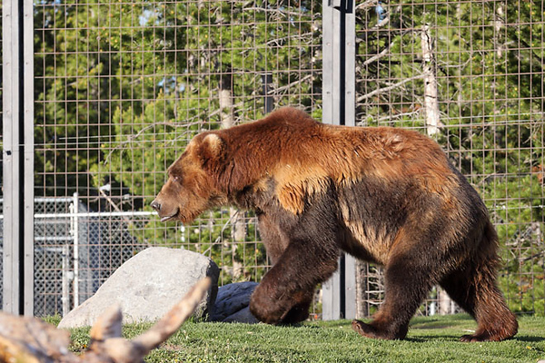 Grizzly & Wolf Discovery Center, West Yellowstone, MT