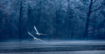Mute swans, after the ice storm
