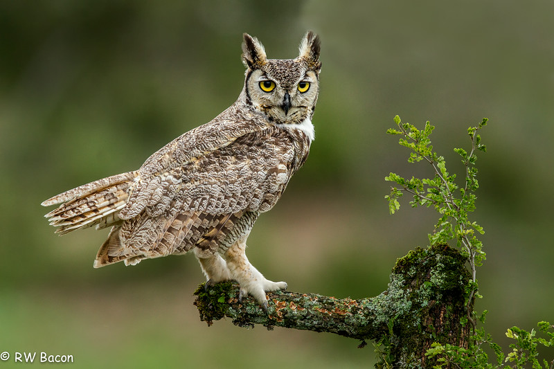 Great Horned Owl (iPad)