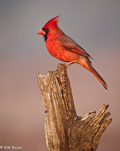 LRGV - Cardinal on a Stump