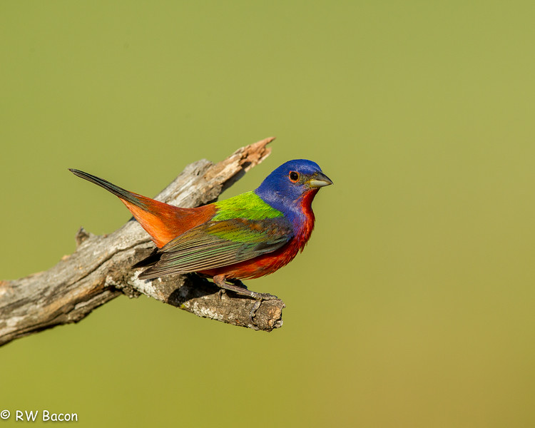Painted Bunting (Tail UP) - iPad