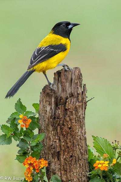 Audubon's Oriole Laguna Seca Ranch Lower Rio Grand Valley Edinburgh, TX