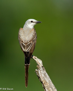 Scissor-tailed Flycatcher - iPad