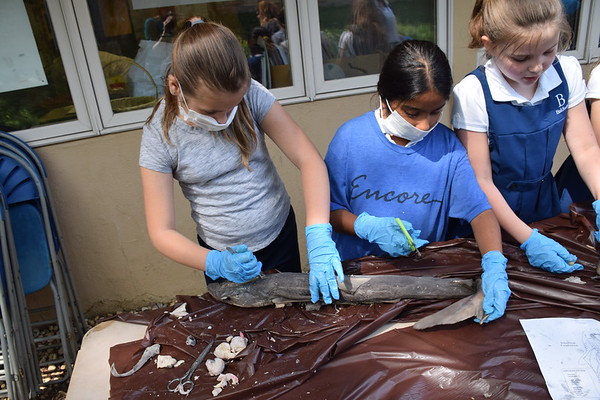 Gills Club Shark Dissection