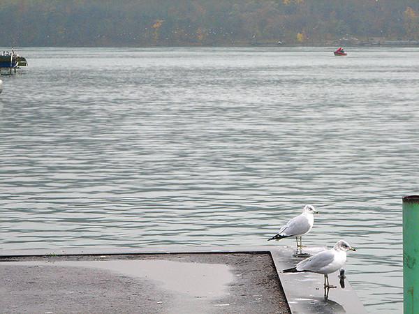 Niagara River Nov 12 birds 297 640w