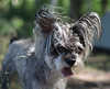 grey terrier