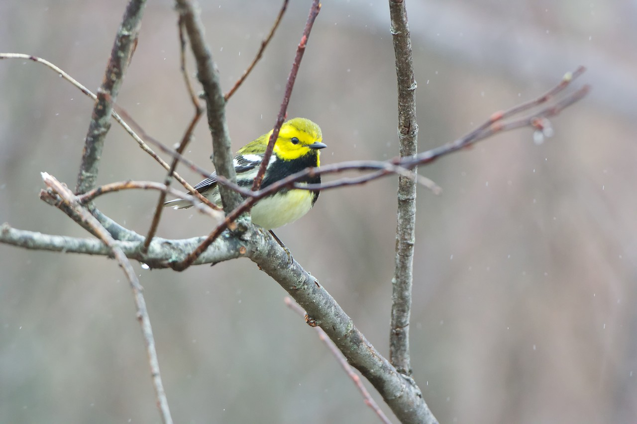 Black-throated Green Warbler (juvenile)