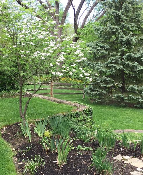Crestview backyard; dogwood in bloom