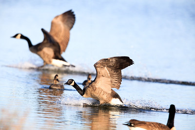Canada Geese-0307