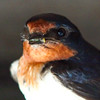 barn-swallow-bug-july21-1