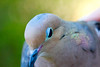 Mourning Dove Brewster-1