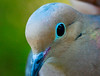 Mourning Dove Brewster-2