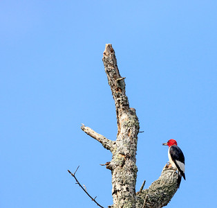 Red-headed Woodpecker 16 cm-1