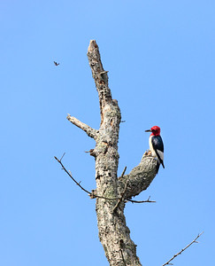 Red-headed Woodpecker 16 cm-2