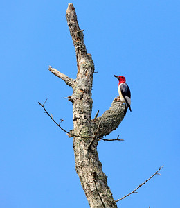 Red-headed Woodpecker 16 cm-3
